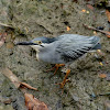 Striated/Little Heron