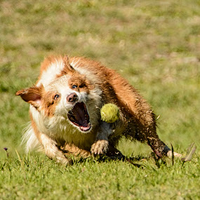 by Pat Kiellor - Animals - Dogs Playing ( border collie, dog )