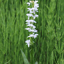 White Rein Orchid or Bog Orchid