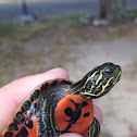 Northern Red Bellied Turtle