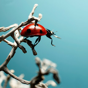 Ladybug climbing by Christian Bro - Animals Insects & Spiders ( climbing, macro, bug, ladybug, insect,  )