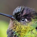 Fiery-throated Hummingbird (Colibrí, gorrión, colibrí garganta de fuego)