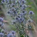 Sapphire Blue Sea Holly