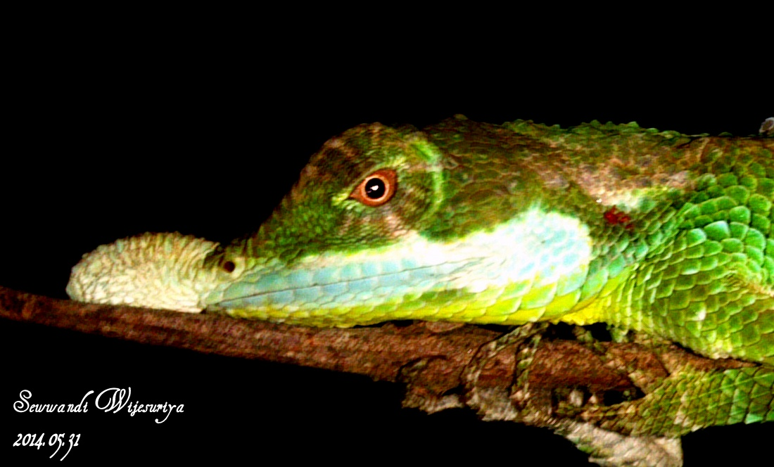 Sri lankan leaf-nosed lizard