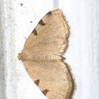 Three-spotted fillip