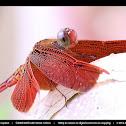 Red Grasshawk Dragonfly