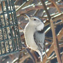 White-breasted Nuthatch ♂