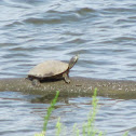 Common (Northern) Map Turtle