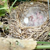 Carolina Wren (hatchlings)