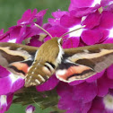 Bedstraw Hawk-Moth