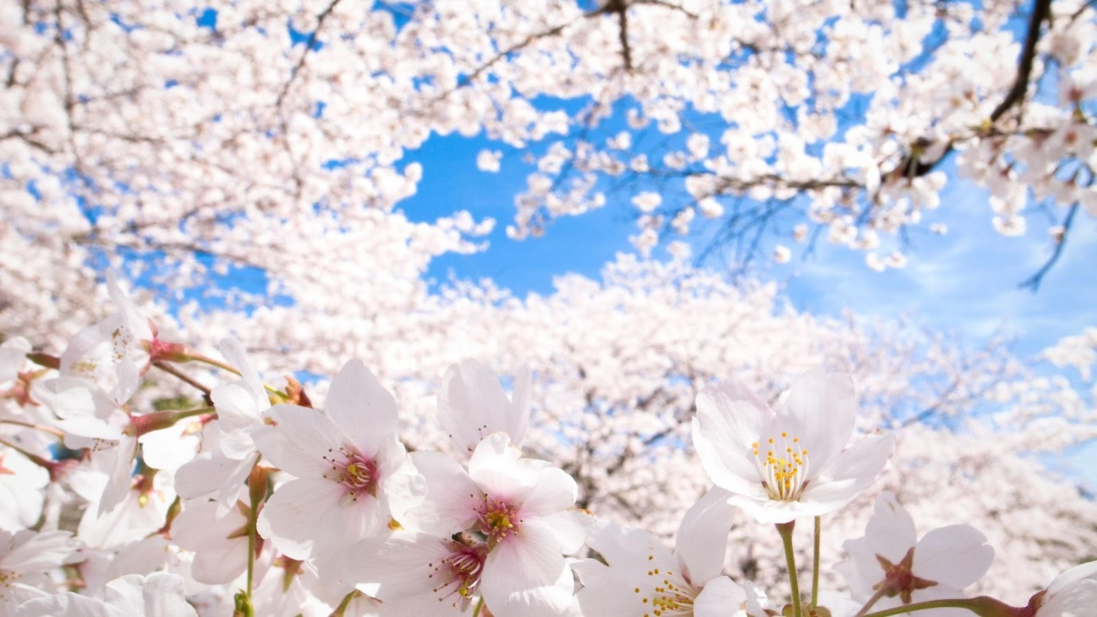 Cherry Blossom Wallpaper Apl Android Di Google Play