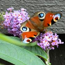 Butterflies & Moths of the UK