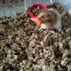 Teddy Bear Hamster