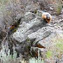 Rock Chuck aka Yellow-bellied Marmot