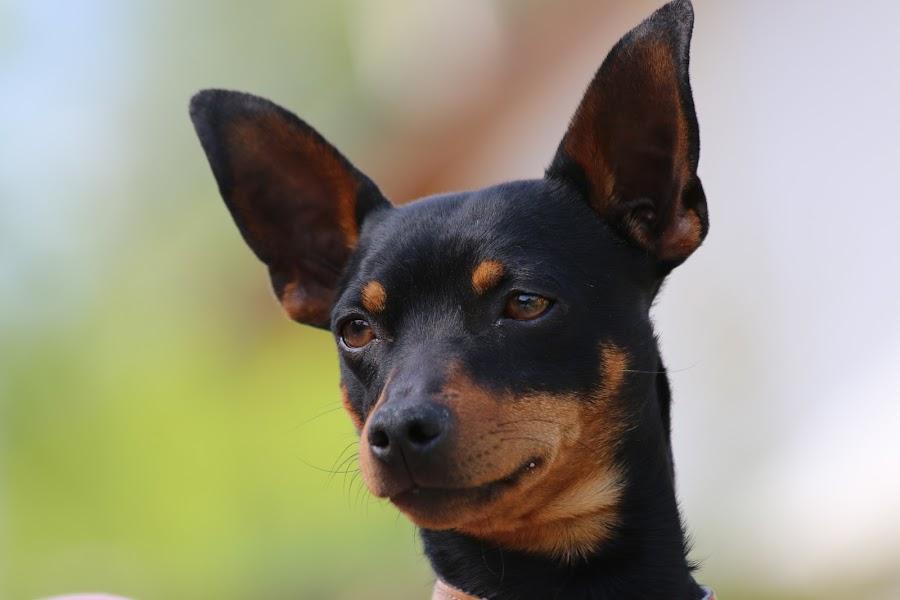 for dog´s passport by Gerhard Hunčaga - Animals - Dogs Portraits