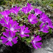 Wild Flowers of the Alps