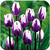 Tulip Free Live Wallpaper