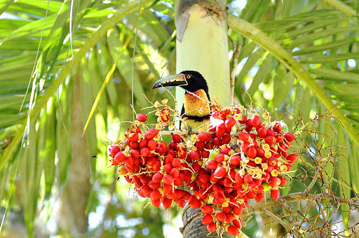 A Collared Aracari, a type of toucan, at Chaa Creek near San Ignacio, Belize.