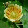 Tulípero de Virginia. Tulip tree