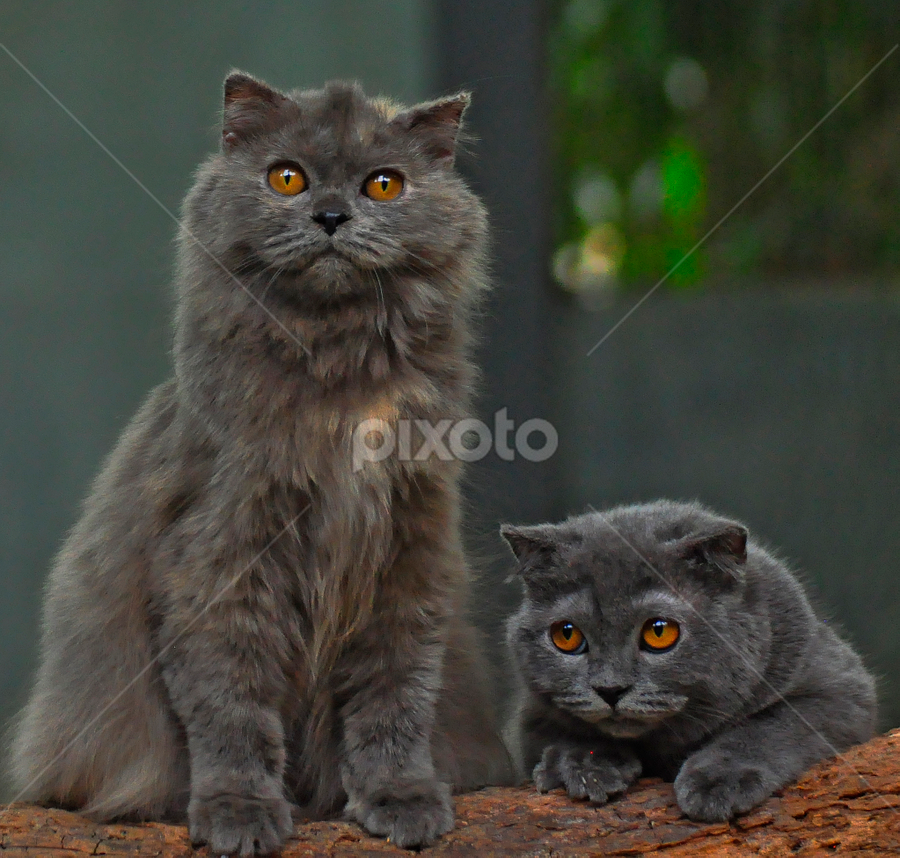 Scottish Fold by Cacang Effendi - Animals - Cats Portraits ( cats, cattery, kitten, chandra, animal )