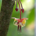 Flower Cocoa Tree