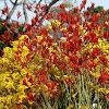 Kangaroo paw blooms