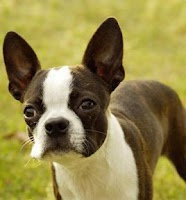 Screenshot of Boston Terrier Puzzle