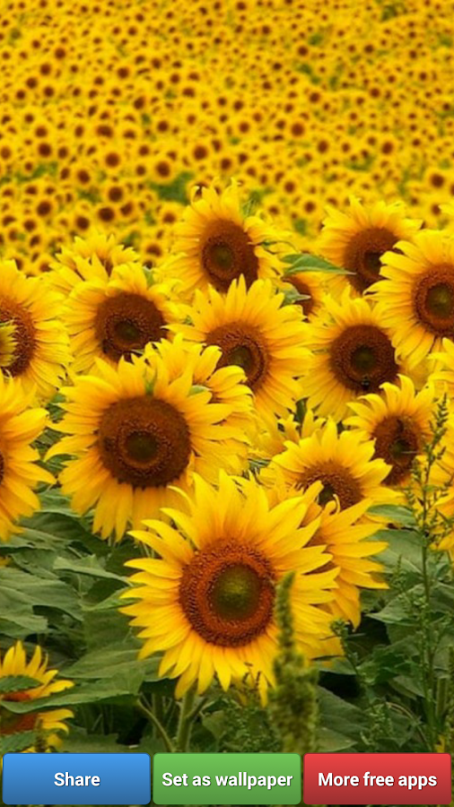 Sunflowers Hd Wallpapers Android Apps On Google Play