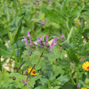 Greater Henbit