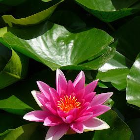 waterlitly by Kirsten Gamby - Flowers Single Flower ( pink waterlily, waterlily, single waterlily,  )