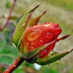 orange awakening by Ruy Lopes - Flowers Flower Buds ( botão rosa laranja,  )