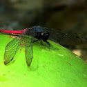 Spine-tufted skimmer