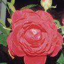 american red rose/new york rose