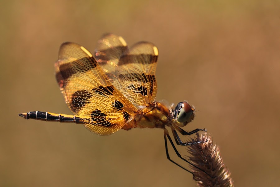 Golden by John McTavish - Animals Insects & Spiders ( canon, macro, dragonfly, insects )