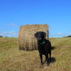 Maggie in the field by Sandy Davis DePina - Landscapes Prairies, Meadows & Fields ( field, labrador retriever, serene, fall, hay, dog,  )