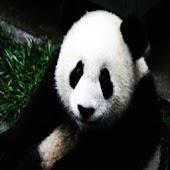 BIG Panda Puzzle free