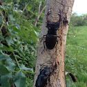 Stag beetle  (nagy szarvasbogár - hun)