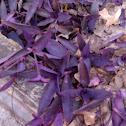 Purple Heart, Purple Queen, Wandering Jew