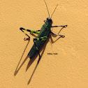 Grasshopper (Gafanhoto-Soldado)