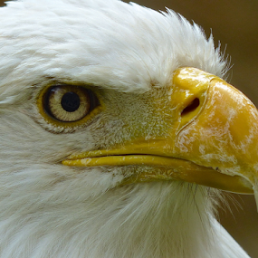 Bald eagle by Laura Payne - Animals Birds ( nostril, curve, face, eagle, bill, watch, mottle, white, prey, bald, yellow, feather, scrie, bird, rapter, sight, see, side, preditor, beak, animal, eye,  )