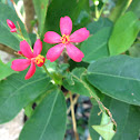 Peregrina, Rose-flowered Jatropha, Spicy Jatropha, Shanghai Beauty
