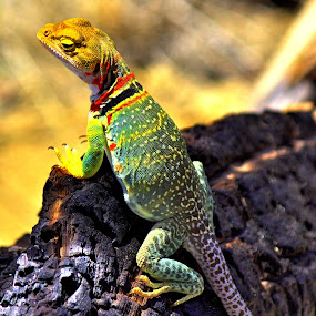 Admiring The Vies by Roxanne Dean - Animals Reptiles ( desert creature coloful tail eyes,  )