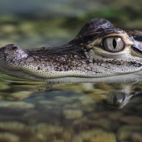 Caiman by Eva Lechner - Animals Reptiles ( canon, reflection, macro, caiman, eye,  )