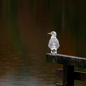 The Ombudsman lake! by Jože Borišek - Animals Birds ( bohinj-slovenia )