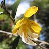 Oerstedella orchid