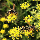 European Paper Wasp, female and male