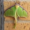 Luna Moth/Moon Moth
