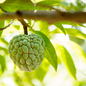 Sugar apple or anon fruit hanging on tree by Toronto-Images .Com - Nature Up Close Gardens & Produce ( plant, juicy, custard, one, tropical, leaf, vegetation, farm, hanging, anon, nature, tree, climate, gourmet, fruit, green, refreshment, agriculture, growing, country, unripe, organic, sweet, apple, food, outdoors, ripe, branch, healthy, eating, freshness, garden, natural, produce, sugar, growth )