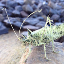 Lichen katydid