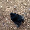 Black Silkie